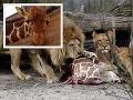 Dánska ZOO chystá ďalší masaker žirafy: Nechutná smrť pred očami detí čelí kritike!