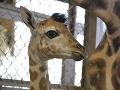 Samček žirafy zo ZOO v Bratislave dostal meno: Volá sa Melman!