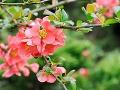 10 najkrajších kvitnúcich drevín do jarnej záhrady