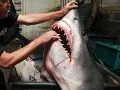 V Austrálii odchytili vyše 170 žralokov, 50 utratili
