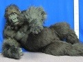 Zľakli sa, že ušiel: Muža v kostýme gorily strelili uspávacou šípkou, skončil na áre