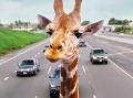 Nešťastná smrť žirafy: Hlavou silno narazila do mosta, poškodila aj nákladiak