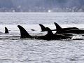 Na pobreží Nového Zélandu uhynulo päť kosatiek dravých