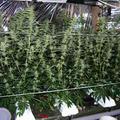 Našli tri ďalšie vietnamské výrobne marihuany