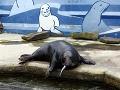 Veľký smútok v košickej zoo: Tuleň Čuk umrel!