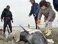 Kruté divadlo z dielne matky prírody: Desiatky uviaznutých zvierat pomaly umierali