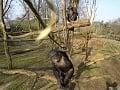 Z tohto šimpanza ide strach: Zrazil k zemi lietadlo!