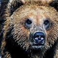 Lesníci s ochranármi budú chytať medveďa
