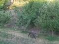 FOTO Divá sviňa rabuje v bratislavských záhradkách