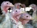 Je to potvrdené! V Rakúsku zabíja vtáčia chrípka, farmy sú v ohrození