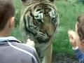 VIDEO Tragédia v ZOO: Ošetrovateľ čistil tigrovi výbeh, šelma ho smrteľne napadla