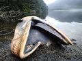 FOTO Obrovská prírodná apokalypsa v Patagónii: Uhynulo tam viac než 300 veľrýb