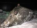 Na tento megaúlovok Peter (36) do konca života nezabudne: V lese žil mýtický 500-kilový obor!