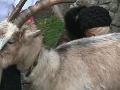 Roboty sa nebojí: Ktorá slovenská moderátorka podojila kozu a kydala hnoj?