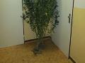 Vianočný stromček? Pozrite sa lepšie! Policajti zastavili muža s takouto rastlinou na FOTO