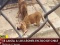 VIDEO Naháč, ktorého trhali levy v zoo pred očami divákov, bol