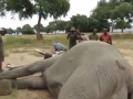 Neuveriteľné konanie slona po útoku pytliakov: Veterinári boli ohromení, to VIDEO musíte vidieť