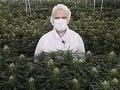 Zakázaná rastlina, z ktorej sa vyrába marihuana: Vedci prekvapili, v minulosti ju bežne používali