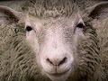 Desivá správa pre rakúskeho farmára: Prišiel o svoje milované ovečky! Obeť pre Alaha