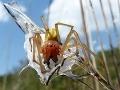 V Česku sa premnožil jedovatý pavúk, obete hryzie aj v spánku: Na Slovensku ho máme tiež