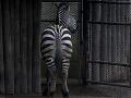 Kuriózne umenie: Sprejer v Česku prefarbil koňa na zebru, teraz mu hrozí basa