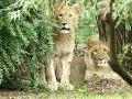 Veľký hnev ochrancov práv zvierat: TOTO schválila juhoafrická republika napriek ostrej kritike