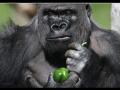 Návštevníci zoo v Londýne zažili dramatický incident: Z výbehu utiekla gorila