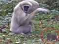 VIDEO paniky v opičom výbehu: Myš dokonale zmiatla gibony, mali plné ruky práce