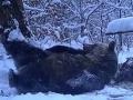 FOTO Poľská medvedica sa s radosťou váľala v snehu: Keď si všimla niečo nečakané...