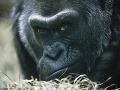 Zomrela najstaršia gorila v USA a zároveň prvá, ktorá sa narodila v zoo: Dožila sa 60 rokov