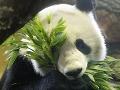 V Číne uhynul najstarší pandí samec na svete: Mal 140 potomkov