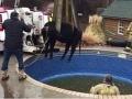 Viac ako pol tony vážiace zviera pripravilo prekvapenie: Hasiči zachraňovali čiernu potvoru z bazéna
