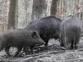 Poľovačka sa zmenila na tragédiu: Muž (†50) chcel zastreliť diviaka, zviera ho zabilo