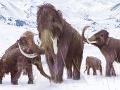 Vedci zistili o mamutoch zaujímavú vec: Samce hynuli hlúpym spôsobom častejšie ako samice