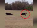 Chlapček sa stavil s otcom, že vyskočí na kravu: Nepochopiteľné VIDEO