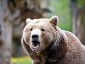Poľovníci varujú, treba sa mať na pozore: V okolí Prievidze sa pohybujú medvede