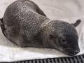 Vedci skúmali stolicu tuleňa: Neverili vlastným očiam, čo vo vzorke našli! Dôkaz na VIDEU