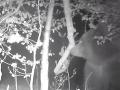 VIDEO Fotopasca zachytila medveďa túlajúceho sa pri Piešťanoch: Prvý chod má už za sebou