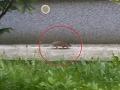 Potkany terorizujú Bratislavu: FOTO Hlodavec zachytený pri nemocnici