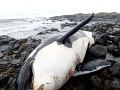 Pitva veľryby odhalila strašnú pravdu: Najznečistenejší živočích na planéte, vedci sú v šoku