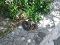 Panika v Chorvátsku, FOTO hada vydesila turistov aj domácich: Zasiahnuť musela až veterina
