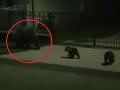 Ďalšie bláznivé VIDEO: Slávna medvedica zo stromu sa vrátila, nočná špacírka s mladými