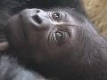 Obrovská radosť v ZOO: Unikátny gorilí pôrod bol rovnako emotívny ako ľudský