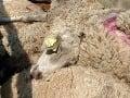 Tragický pád zo zrázu v bavorských Alpách: Neprežilo ho 180 oviec
