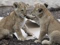 Veľký smútok v libereckej zoo: Uhynuli dve mimoriadne vzácne levíčatá