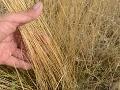 Extrémne sucho trápi poľnohospodárov: Najhoršie je na východe, plodiny už trpia