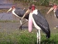 Bojnická ZOO sa môže pýšiť milým prírastkom: K ostatným obyvateľom pribudol marabu africký