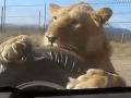Dramatické VIDEO zo safari: Obavy o život, turisti v Afrike unikali pred odvážnou levicou