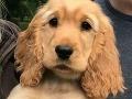 Pes týždne strážil svoju mŕtvu majiteľku: Vyhladovaný sa odmietal pohnúť od jej postele