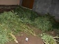 Pestovanie konope vyšlo muža (57) draho: Veľká večerná razia polície